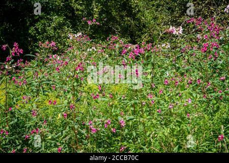 Impatiens glandulifera, une plante envahissante qui grandit à côté du Kamptal-Seenweg 620, randonnée près du réservoir de Dobra, Waldviertel, Autriche