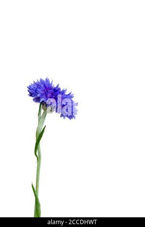 fleur isolée sur fond blanc