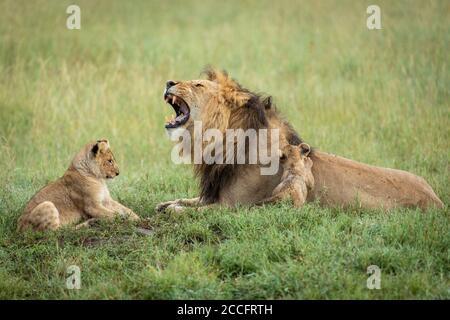 Lion masculin et ses deux petits en vert Herbe dans le parc national de Serengeti en Tanzanie