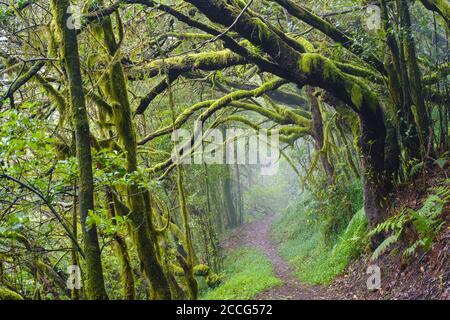Sentier forestier dans la forêt nuageuse à El Cedro, Parc national de Garajonay, la Gomera, Îles Canaries, Espagne