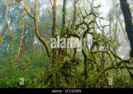 Arbres de mousses dans la forêt nuageuse, parc national de Garajonay, la Gomera, îles Canaries, Espagne