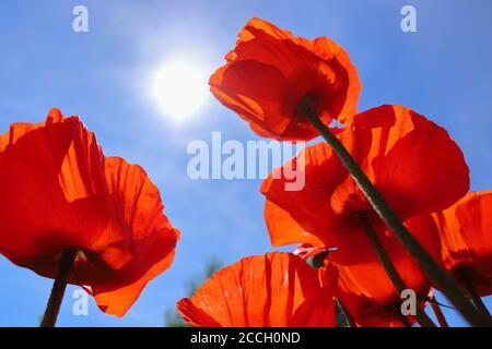 Photo basse-angle de coquelicots orientaux rouges brillants (Papaver orientale) contre le ciel bleu