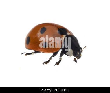 Marienkaefer semptempunctata, Coccinella, ist ein huebscher roter Kaefer mit schwarzen Punkte. Insekt Das ist sehr und viele Blattlae nuetzlich frisst Banque D'Images