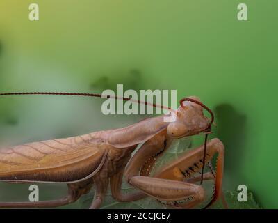 Gros plan d'une mante marron qui nettoie son antenne