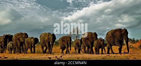Panorama d'un troupeau familial d'éléphants traversant les plaines africaines baignées de soleil dans le parc national de Hwange, Zimbabwe, Afrique australe