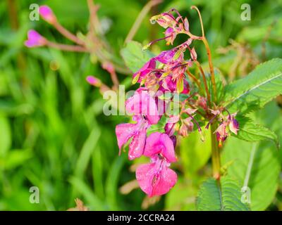 Fleurs lumineuses de balsam himalayan à proximité