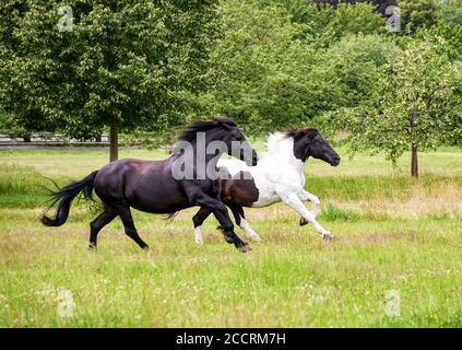 Deux chevaux femelles, de type baroque, de type barock pinto noir et noir-et-blanc à motif tobiano, courent à un galop complet dans un meado d'herbe verte