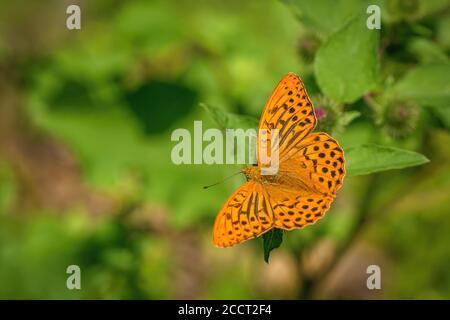 Fritillaire lavé à l'argent, papillon orange et noir, assis sur une feuille. Jour d'été ensoleillé dans un pré. Arrière-plan vert flou. Banque D'Images