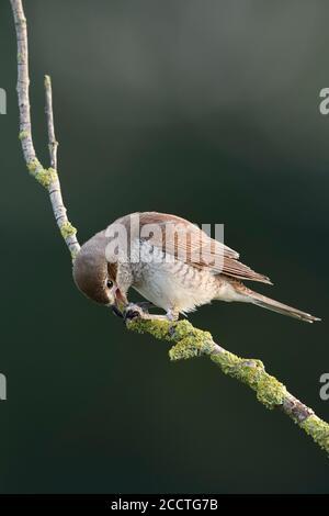 Shrike à dos rouge ( Lanius collurio ), femelle adulte, perchée sur une branche séchée, se nourrissant de proies, caterpillar, faune, Europe.