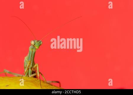 Vue rapprochée d'une mante verte de prière perchée sur un citron sur fond rouge