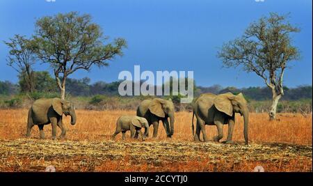 Un petit troupeau d'éléphants traversant les plaines africaines avec un ciel bleu vif dans le parc national de South Luangwa, Zambie, Afrique