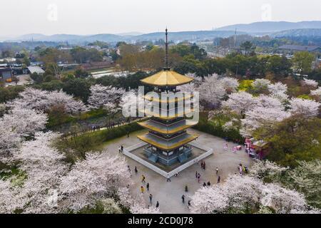 Wuhan East Lake Sakura Garden.cette fois-ci, c'est la saison des cerisiers en fleurs. Pour le voyage autour de Wuhan