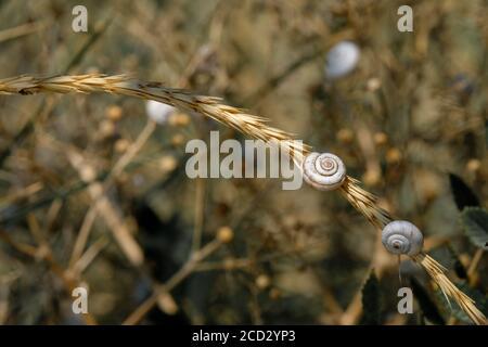 Accent sélectif sur les petites coquilles en spirale des escargots de steppe sur les tiges de plantes séchées. Magnifique arrière-plan naturel. Gros plan de mollusques dans la nature. Copier
