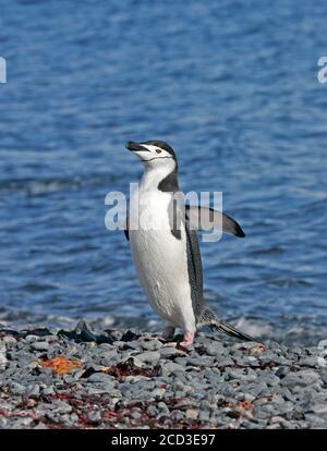 Pingouin barbu, pingouin à collier (Pygoscelis antarctique, Pygoscelis antarcticus), debout sur la plage de galets avec des ailes étirées, vue latérale,