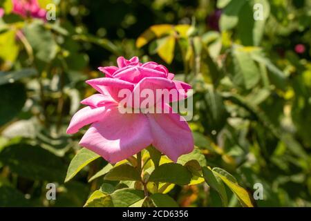 Rosa Gertrude Jekyll en fleur Banque D'Images