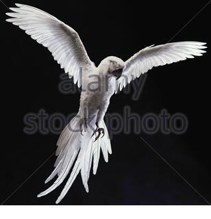 Posture de vol d'oiseau, isolée sur fond noir Banque D'Images