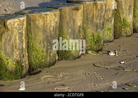Gros plan des groynes sur la plage de sable avec algues vertes