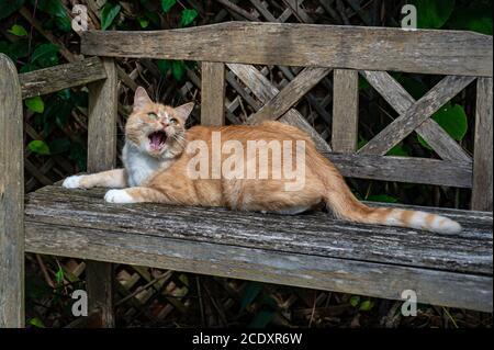 Chat de gingembre espiègle sur banc en bois