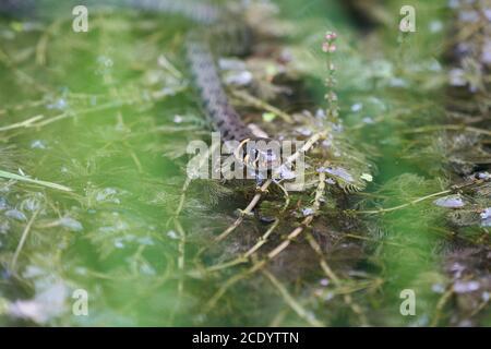 Serpent gras dans le portrait du lac Natrix Natrix