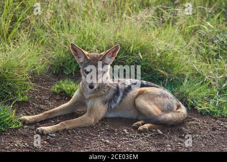 Golden Jackal Canis aureus Safari Portrait sauvage