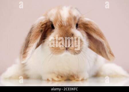 Portrait d'un jeune lapin nain