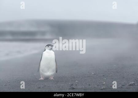 Pingouin de collier (Pygoscelis antarctique) debout dans la vapeur des sources chaudes sur la plage, Whalers Bay, Deception Island, South Shetland Islands,