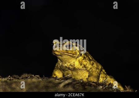 Gros plan de crapaud jaune avec un œil rouge en forme de bosselure isolé sur fond sombre