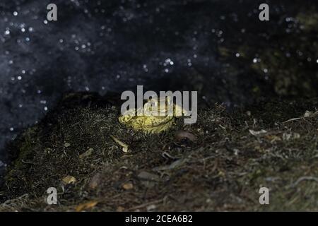 Gros plan d'un crapaud jaune avec des yeux rouges enfants sur un arrière-plan flou