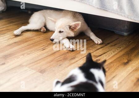Adorable chiot et chat moelleux blanc dormant ensemble au sol dans la chambre. Concept d'adoption. Chiot mignon couché sur le sol sous le lit avec un ami chat dans ro