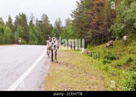 Rennes domestiques marchant sur une route en été en Laponie, dans le nord de la Finlande