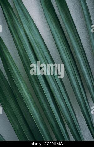 Feuille de palmier verte sur fond de mur blanc