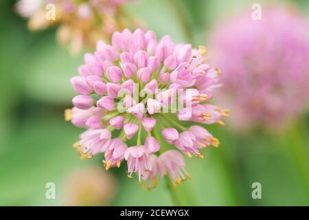 Fleur tête d'une fleur d'Allium (Allium lusitanicum). Gros plan d'Allium senescens ssp. Montanum en fleur. Arrière-plan en fleurs printanières. Gros plan, touche bas Banque D'Images