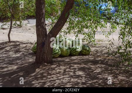 Un groupe de pastèques rayées mûres se trouve à l'ombre d'un arbre. Commerce de rue sur le marché local. Chaude journée d'été. Vie urbaine Banque D'Images