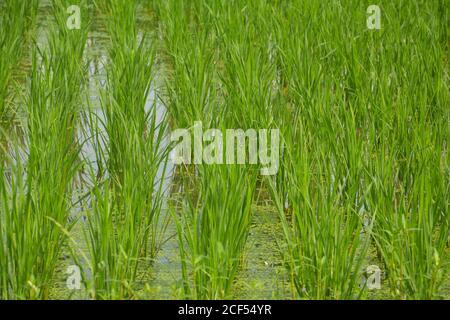 Gros plan de petites rizières vertes semées en rangées dans un champ agricole du Bengale occidental, indien, sélectif