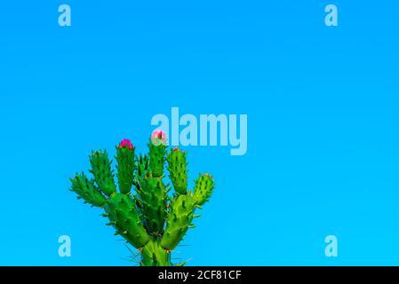 Belle fleur sauvage de cactus du désert en fleurs. Fleurs, tiges et épines du cactus Austrocylindrutia subulata ou Opuntia subulata ou Cylindropuntia.