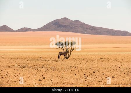 Antilope solitaire sur l'arbuste dans le désert à côté de la route C27 sur la route de Sesriem, Namibie