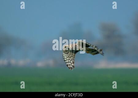Rapaces dans la faune du Pakistan