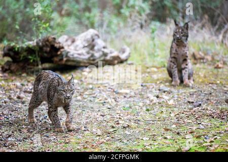 Lynx ibérique (Lynx pardinus), paire, Espagne