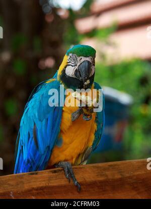 Macaw à tête jaune et bleue perchée sur un banc en bois avec une jambe relevée se nourrissant elle-même. C'est un oiseau sauvage et est libre de voler à volonté, mais préfère Banque D'Images