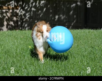 Jeune chien de berger de Shetland (sheltie) jouant avec une grande boule bleue.