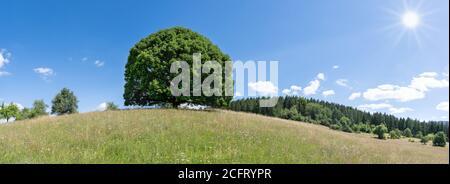 Grand tilleul au soleil sur la colline de un pré vallonné en été