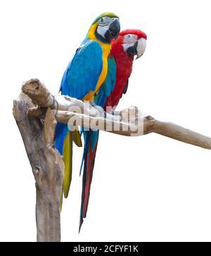 Couple de perroquets de macaw bleu et rouge sur la branche isolée sur fond blanc Banque D'Images