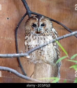 Little Owl perché à côté d'un coffre mort en captivité, regardant dans la caméra, ZSL Londres