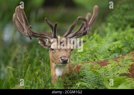 Flow Deer Buck parmi les herbes Bushy Park Londres