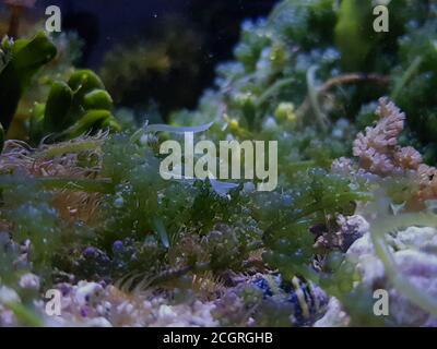 Caulerpa racemosa dans le système de refuge pour aquarium de récif de corail d'eau salée réservoir