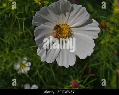 Cosmos blancs de jardin (Cosmos bipinnatus) avec une abeille de l'Ouest (APIs mellifera) collectant du pollen dans un jardin à Ottawa, Ontario, Canada. Banque D'Images