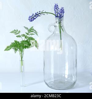 Un petit bouquet de fleurs Muscari bleues dans une grande bouteille en verre transparent à poignée ronde. Jacinthe de raisin, fleurs de printemps bleu Muscari. F