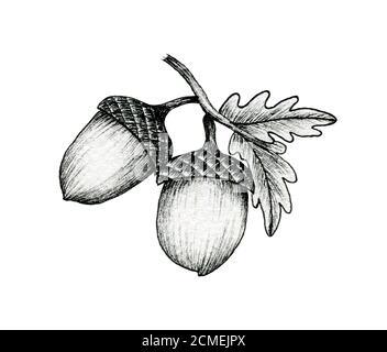 acornes sur une branche isolée sur blanc, noir et blanc encre dessin d'acornes d'automne et feuilles de chêne, illustration d'art de ligne d'automne vintage
