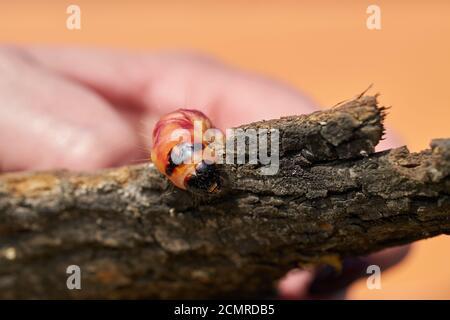 Caterpillar d'une chèvre (Cossus Cossus) sur l'écorce d'un arbre Banque D'Images