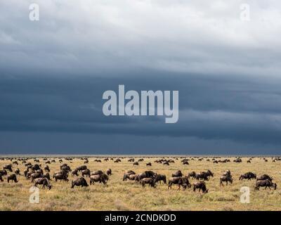 Une confusion du flétrissement bleu (Connochaetes taurinus), sur la Grande migration, Parc national du Serengeti, Tanzanie, Afrique de l'est, Afrique